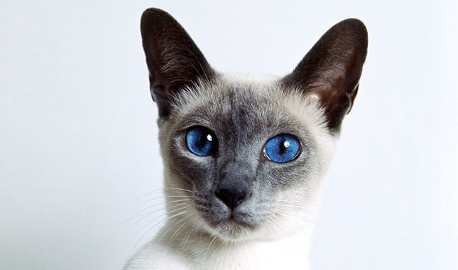 ده نژاد برتر گربه